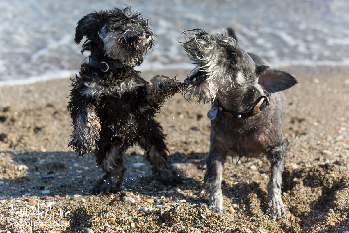 pet-dogs-portrait-photography-shoot-marbella-beach